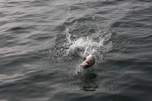 Topwater Bass Jumping